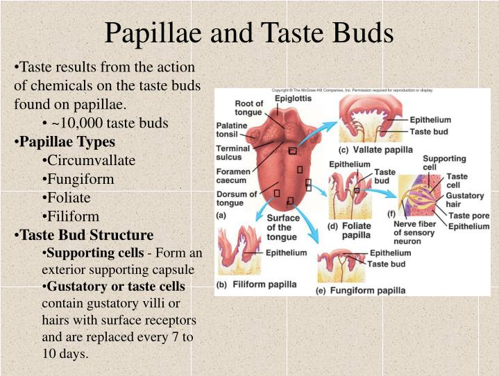 Papillae and Taste Buds