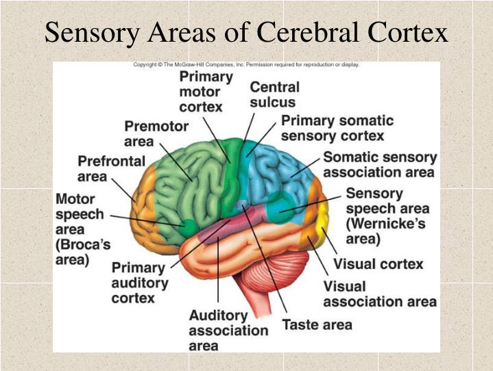 Sensory Areas of Cerebral Cortex