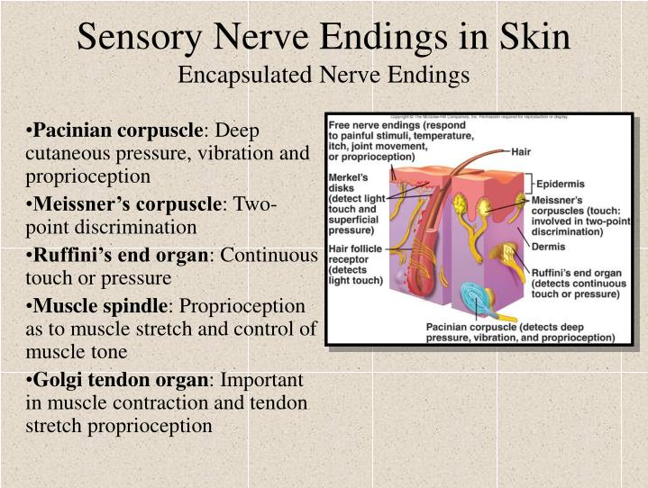 Sensory Nerve Endings in Skin