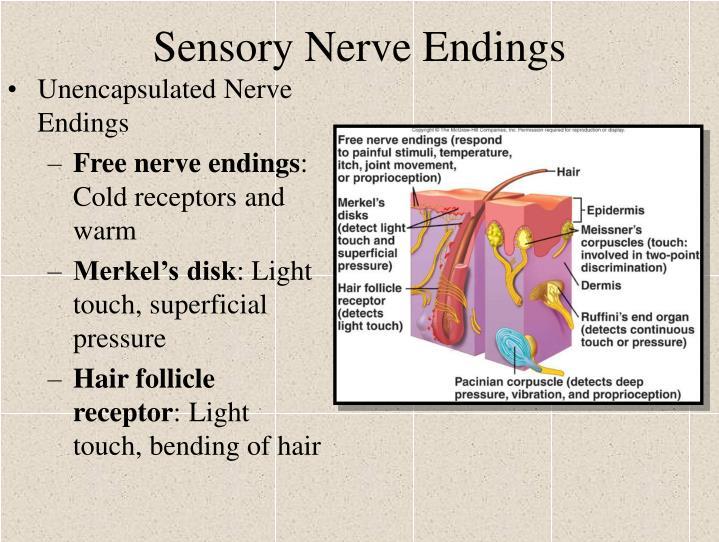Sensory Nerve Endings
