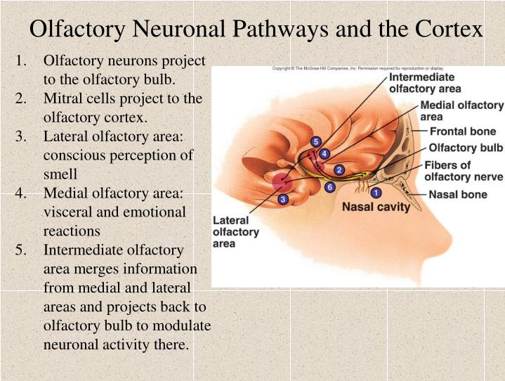 Olfactory Neuronal Pathways and the Cortex