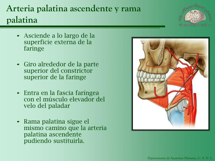 Arteria palatina ascendente y rama palatina