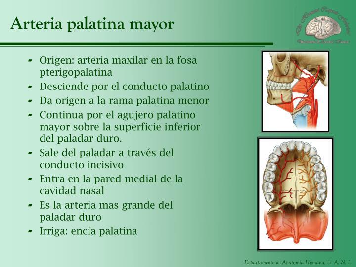 Arteria palatina mayor