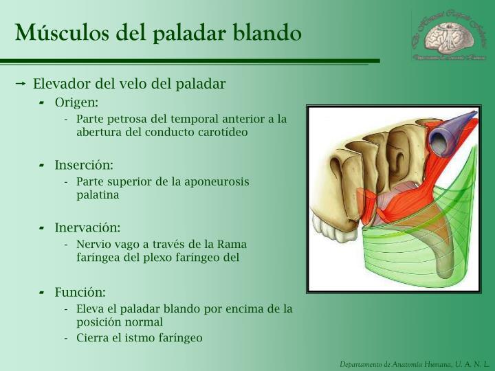 Músculos del paladar blando