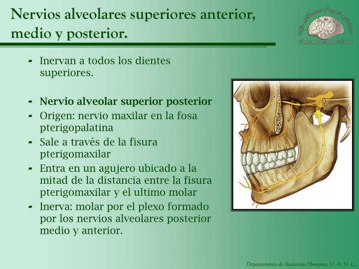 Nervios alveolares superiores anterior, medio y posterior.
