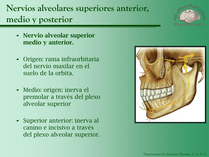 Nervios alveolares superiores anterior, medio y posterior