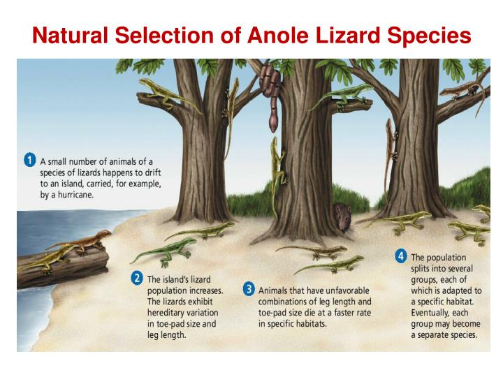 Natural Selection of Anole Lizard Species