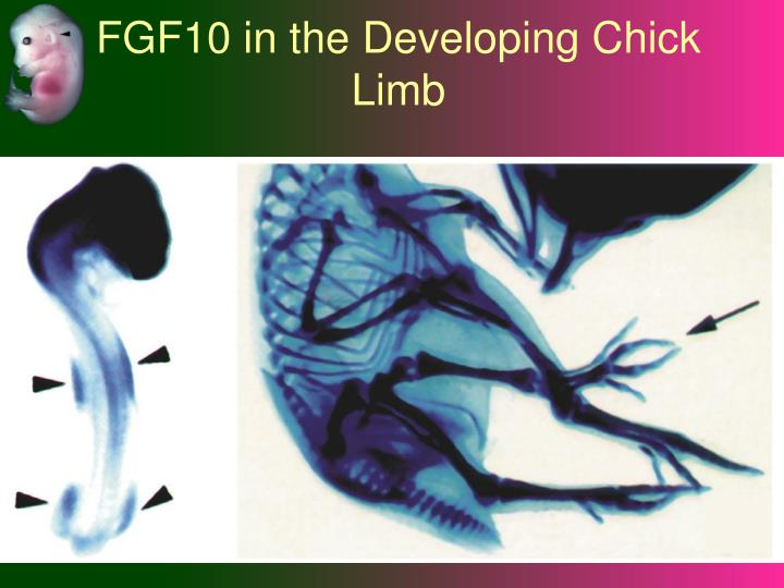 FGF10 in the Developing Chick Limb