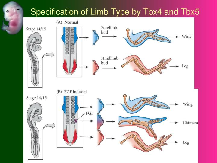 Specification of Limb Type by Tbx4 and Tbx5