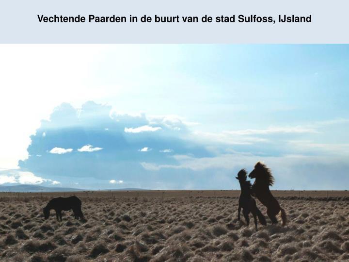 Vechtende Paarden in de buurt van de stad Sulfoss, IJsland