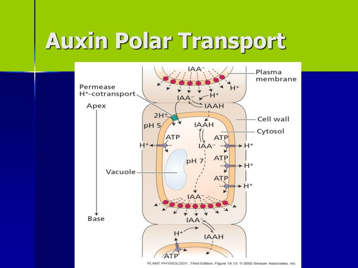 Auxin Polar Transport