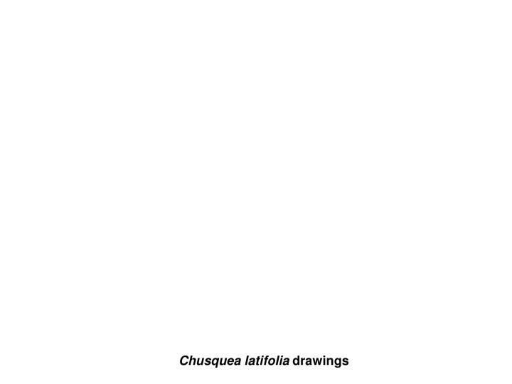 Chusquea latifolia