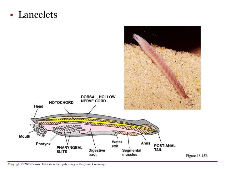 Lancelets