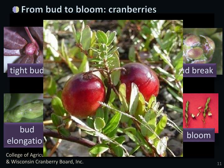 From bud to bloom: cranberries