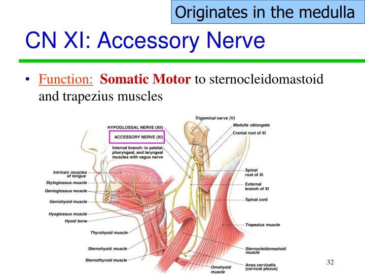 Originates in the medulla