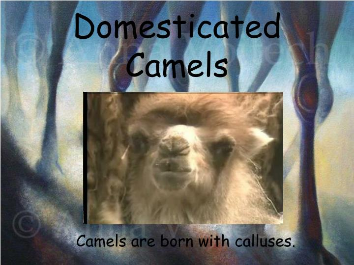 Domesticated Camels