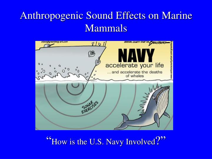 Anthropogenic sound effects on marine mammals how is the u s navy involved