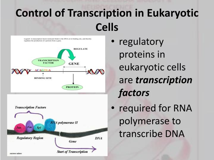 Control of Transcription in Eukaryotic Cells