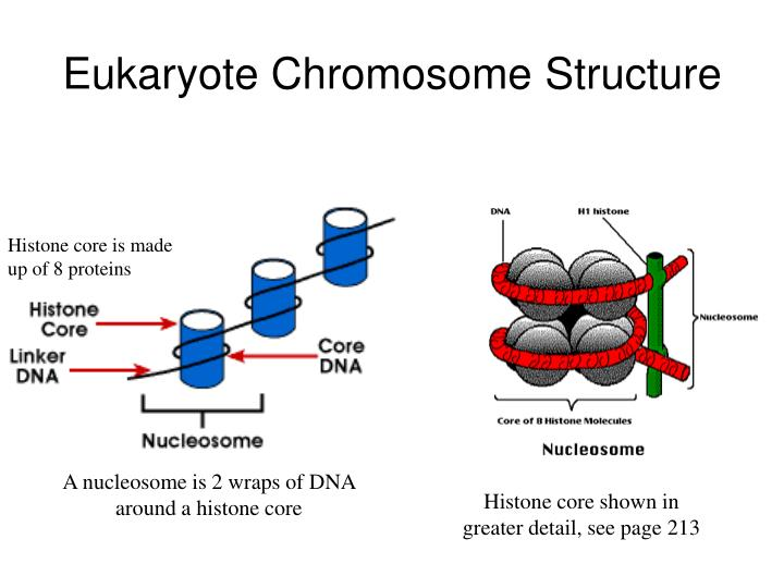 Eukaryote Chromosome Structure