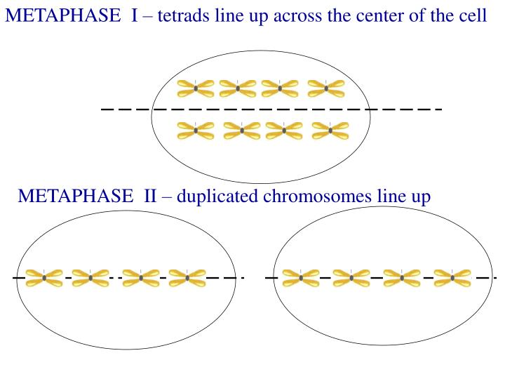 METAPHASE  I – tetrads line up across the center of the cell