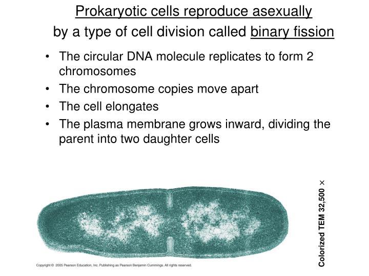 Prokaryotic cells reproduce asexually