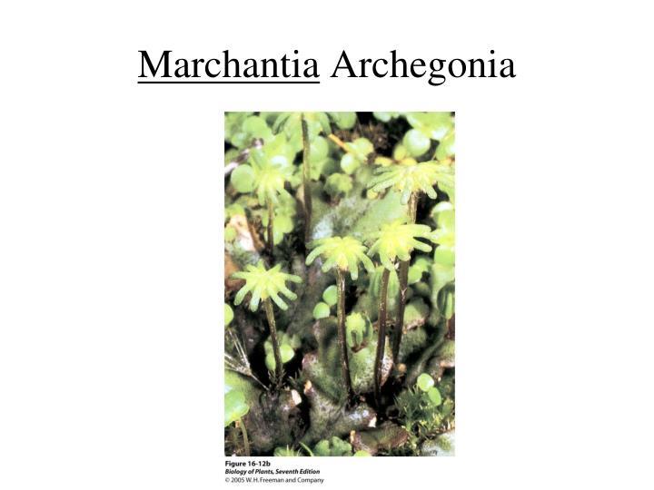 Marchantia