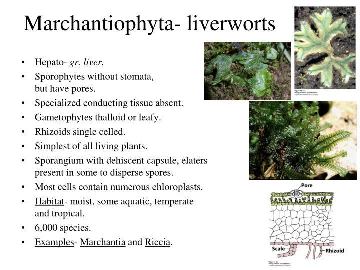 Marchantiophyta- liverworts