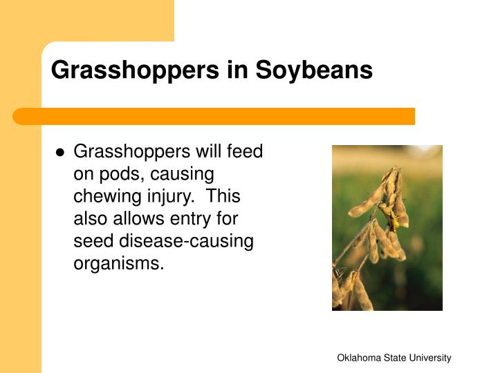 Grasshoppers in Soybeans