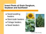 insect pests of grain sorghum soybean and sunflower2