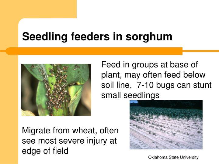 Seedling feeders in sorghum
