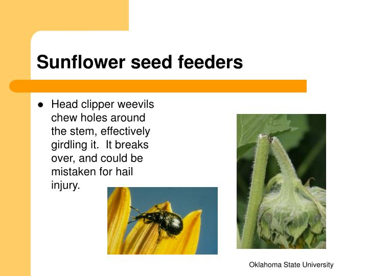 Sunflower seed feeders