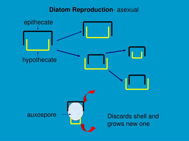 Diatom Reproduction