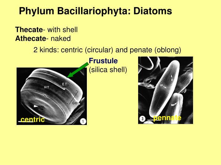 Phylum Bacillariophyta: Diatoms