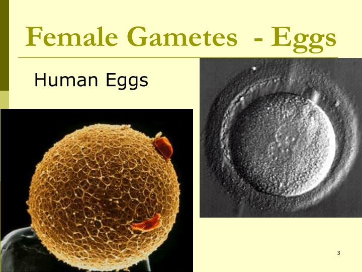 Female Gametes  - Eggs