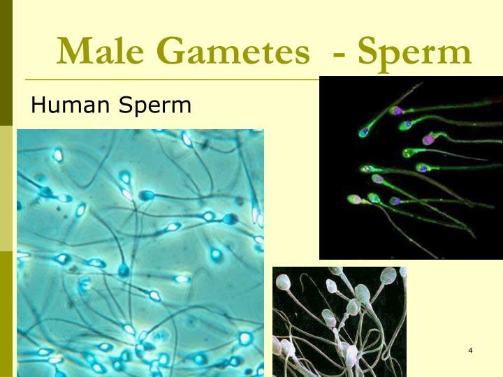 Male Gametes  - Sperm