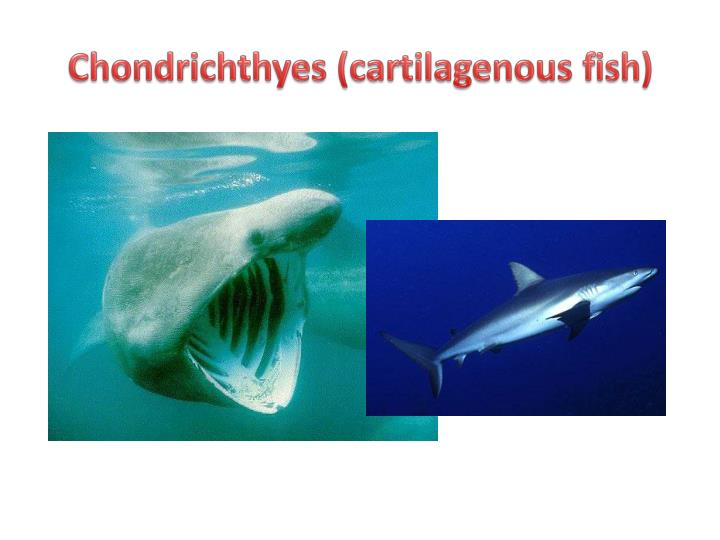 Chondrichthyes characteristics related keywords for Cartilaginous fish examples