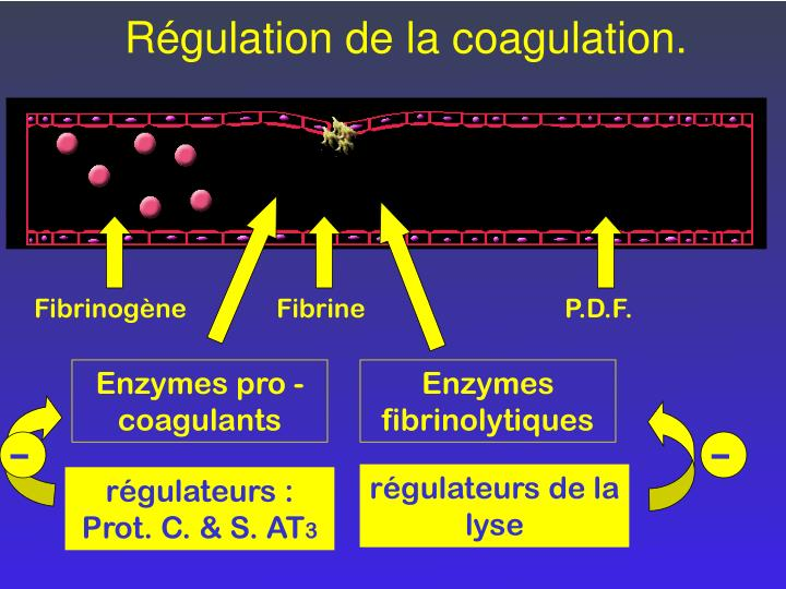 Régulation de la coagulation.