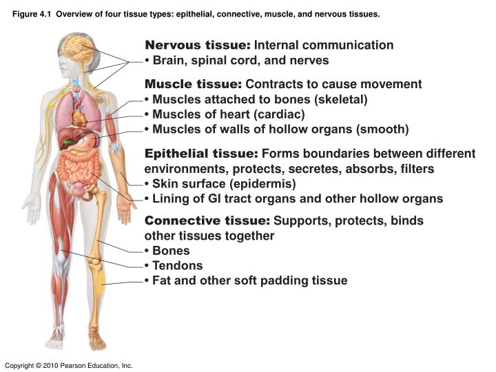 Figure 4.1  Overview of four tissue types: epithelial, connective, muscle, and nervous tissues.