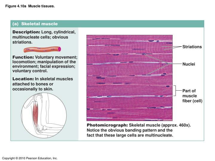 Figure 4.10a  Muscle tissues.