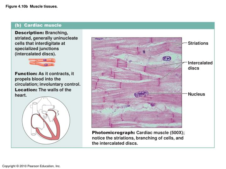 Figure 4.10b  Muscle tissues.