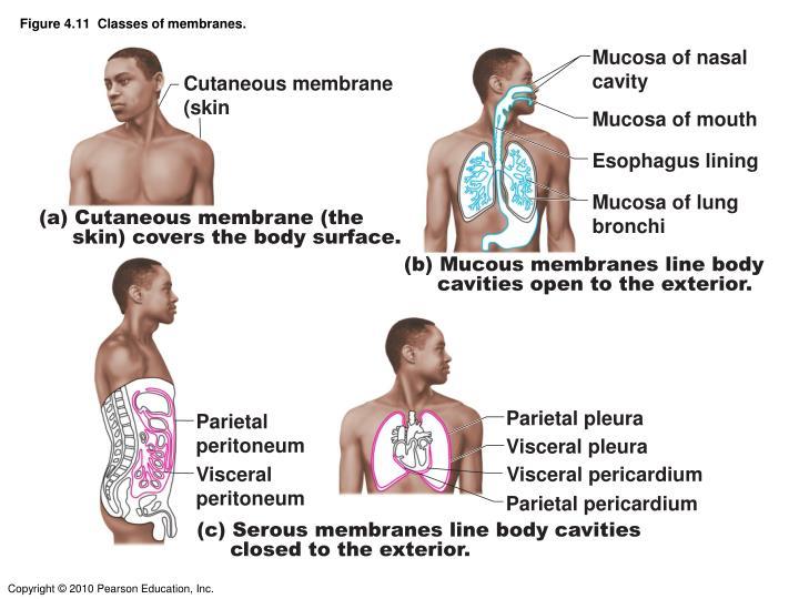 Figure 4.11  Classes of membranes.
