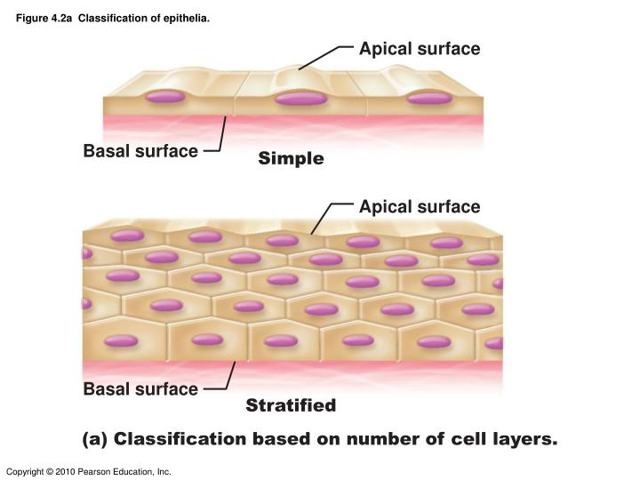 Figure 4.2a  Classification of epithelia.