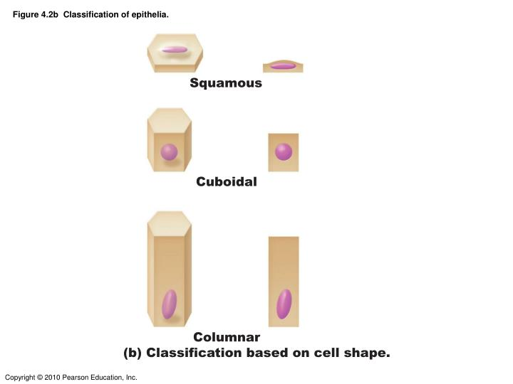 Figure 4.2b  Classification of epithelia.