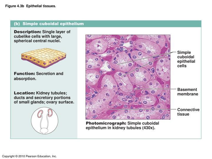 Figure 4.3b  Epithelial tissues.