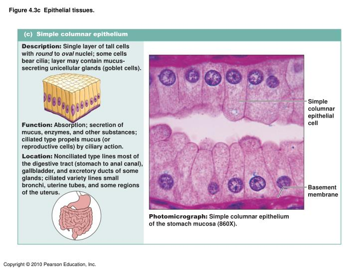 Figure 4.3c  Epithelial tissues.