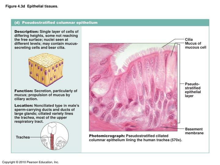 Figure 4.3d  Epithelial tissues.