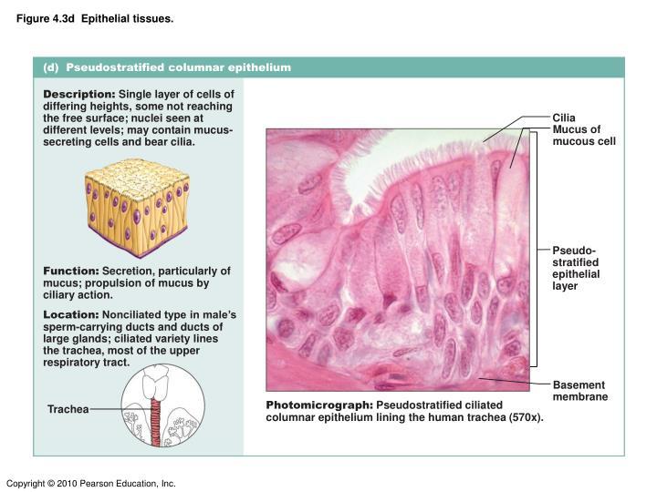 Figure 4.3d  Epithelial tissues.