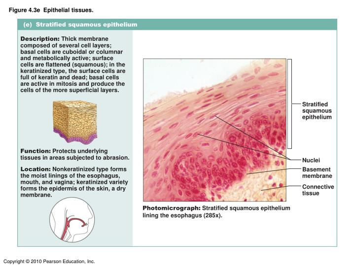 Figure 4.3e  Epithelial tissues.