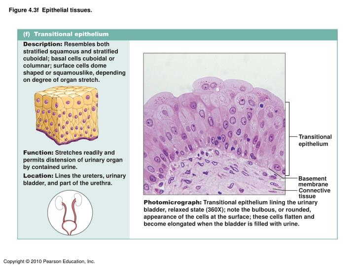 Figure 4.3f  Epithelial tissues.