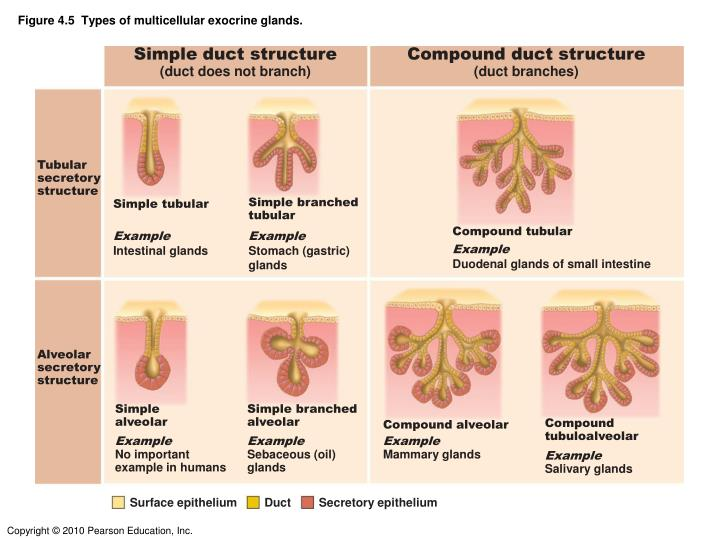 Figure 4.5  Types of multicellular exocrine glands.